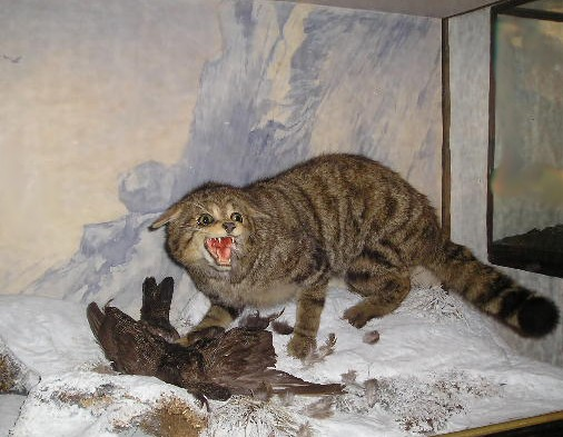 Wildcat Stuffed
