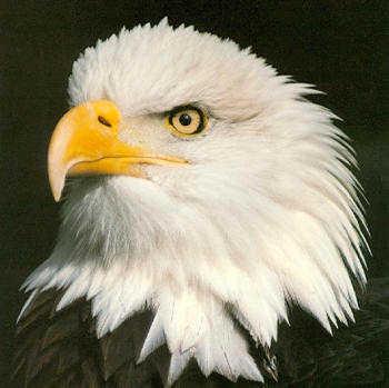 Eaglehead1