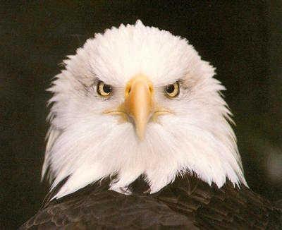 Eaglehead2