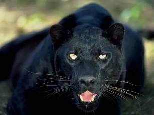 BL Panther